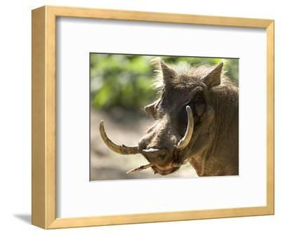 Mean Looking Warthog with Very Long Tusks Looks at the Camera, Henry Doorly Zoo, Nebraska-Joel Sartore-Framed Photographic Print