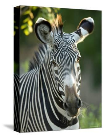 Plains Zebra from the Sedgwick County Zoo, Kansas-Joel Sartore-Stretched Canvas Print