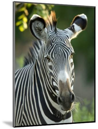 Plains Zebra from the Sedgwick County Zoo, Kansas-Joel Sartore-Mounted Photographic Print