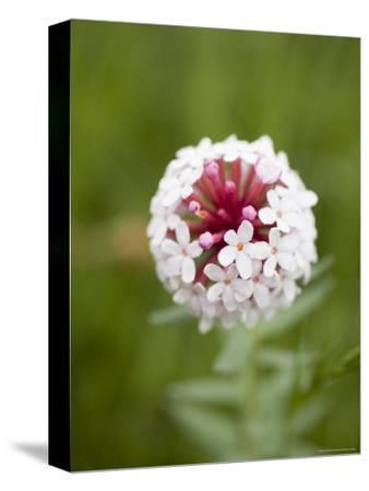Pink and White Flower against Backfround of Green Foliage, Qinghai, China-David Evans-Stretched Canvas Print