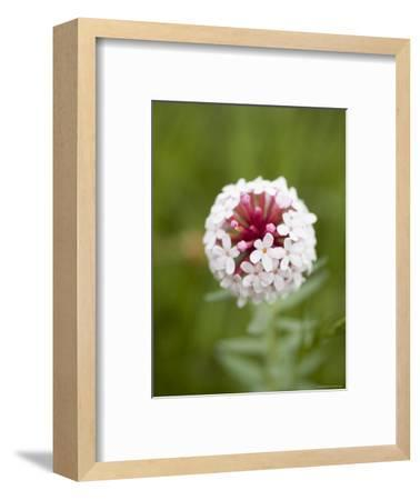 Pink and White Flower against Backfround of Green Foliage, Qinghai, China-David Evans-Framed Photographic Print
