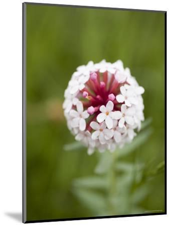 Pink and White Flower against Backfround of Green Foliage, Qinghai, China-David Evans-Mounted Photographic Print