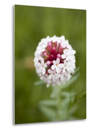 Pink and White Flower against Backfround of Green Foliage, Qinghai, China-David Evans-Metal Print