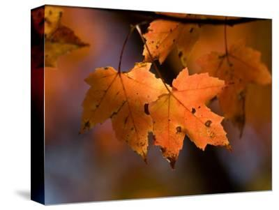 Maple Leaves in the Fall in Middlebury, Vt-Joel Sartore-Stretched Canvas Print