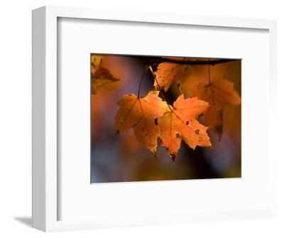 Maple Leaves in the Fall in Middlebury, Vt-Joel Sartore-Framed Photographic Print