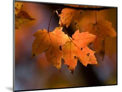 Maple Leaves in the Fall in Middlebury, Vt-Joel Sartore-Mounted Photographic Print