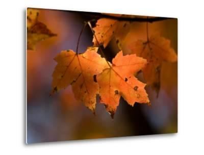 Maple Leaves in the Fall in Middlebury, Vt-Joel Sartore-Metal Print