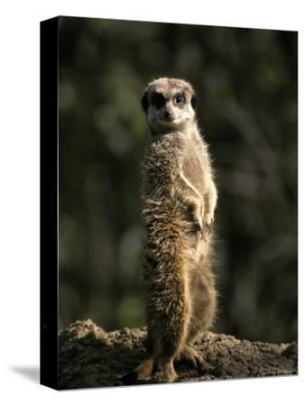 Meerkat Leaning on Tail on Mound, Alert Sentry Duty for Predators, Australia-Jason Edwards-Stretched Canvas Print