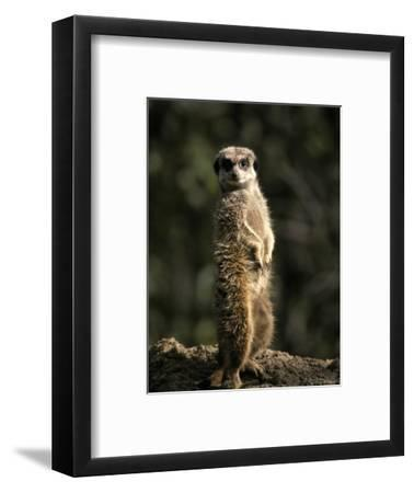 Meerkat Leaning on Tail on Mound, Alert Sentry Duty for Predators, Australia-Jason Edwards-Framed Photographic Print