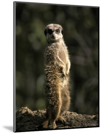 Meerkat Leaning on Tail on Mound, Alert Sentry Duty for Predators, Australia-Jason Edwards-Mounted Photographic Print