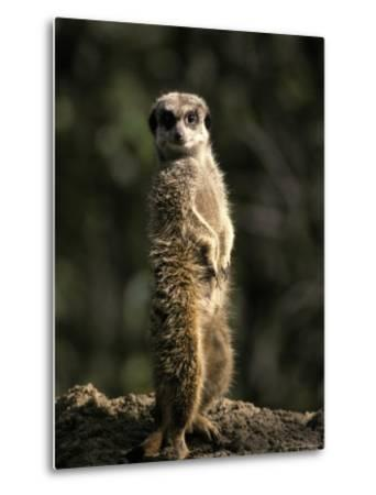 Meerkat Leaning on Tail on Mound, Alert Sentry Duty for Predators, Australia-Jason Edwards-Metal Print