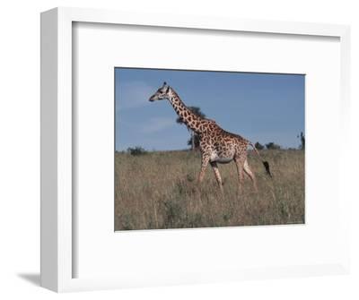 Masai Giraffe Strolling the Grasslands of Kenya-Ira Block-Framed Photographic Print
