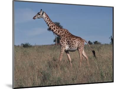 Masai Giraffe Strolling the Grasslands of Kenya-Ira Block-Mounted Photographic Print