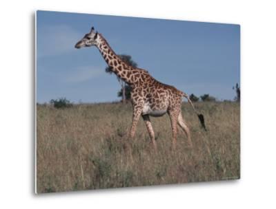 Masai Giraffe Strolling the Grasslands of Kenya-Ira Block-Metal Print