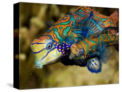 Pair of Mandarinfish Swim Close Together Prior to Spawning, Malapascua Island, Philippines-Tim Laman-Stretched Canvas Print