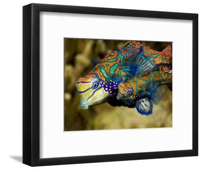 Pair of Mandarinfish Swim Close Together Prior to Spawning, Malapascua Island, Philippines-Tim Laman-Framed Photographic Print