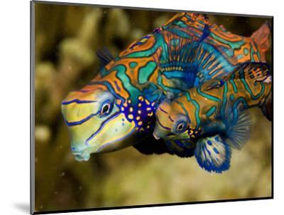 Pair of Mandarinfish Swim Close Together Prior to Spawning, Malapascua Island, Philippines-Tim Laman-Mounted Photographic Print