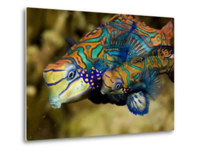 Pair of Mandarinfish Swim Close Together Prior to Spawning, Malapascua Island, Philippines-Tim Laman-Metal Print