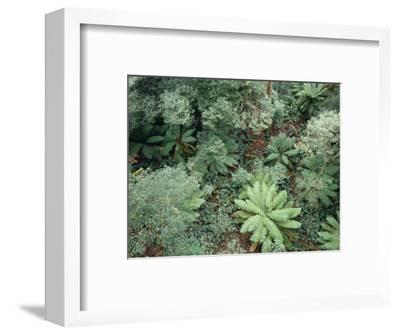 Rainforest of Soft Tree and Hard Water Ferns, and Myrtle Beech Trees, Australia-Jason Edwards-Framed Photographic Print