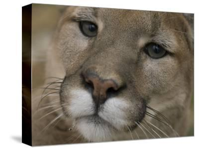 Mountain Lion, or Puma at the Rolling Hills Zoo-Joel Sartore-Stretched Canvas Print