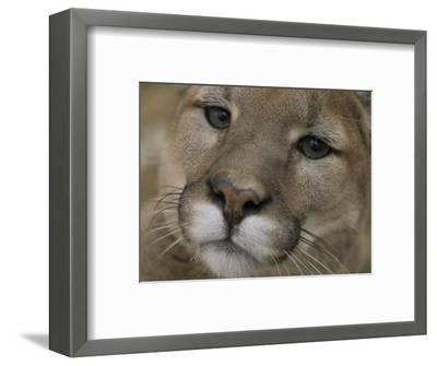 Mountain Lion, or Puma at the Rolling Hills Zoo-Joel Sartore-Framed Photographic Print