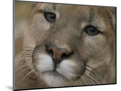 Mountain Lion, or Puma at the Rolling Hills Zoo-Joel Sartore-Mounted Photographic Print