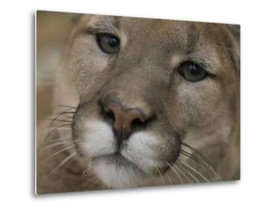 Mountain Lion, or Puma at the Rolling Hills Zoo-Joel Sartore-Metal Print