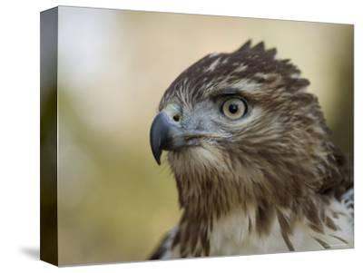 Red-Tailed Hawk in Lincoln, Nebraska-Joel Sartore-Stretched Canvas Print