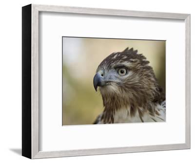 Red-Tailed Hawk in Lincoln, Nebraska-Joel Sartore-Framed Photographic Print