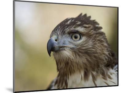 Red-Tailed Hawk in Lincoln, Nebraska-Joel Sartore-Mounted Photographic Print