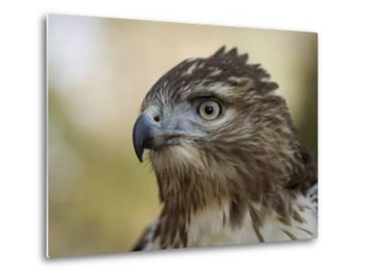 Red-Tailed Hawk in Lincoln, Nebraska-Joel Sartore-Metal Print