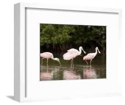 Roseate Spoonbills Feed on a Mangrove Island, Tampa Bay, Florida-Tim Laman-Framed Photographic Print