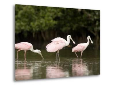 Roseate Spoonbills Feed on a Mangrove Island, Tampa Bay, Florida-Tim Laman-Metal Print