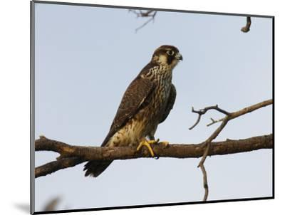 Peregrine Falcon Perches in a Tree, Bombay Hook, Delaware-George Grall-Mounted Photographic Print