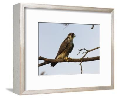 Peregrine Falcon Perches in a Tree, Bombay Hook, Delaware-George Grall-Framed Photographic Print