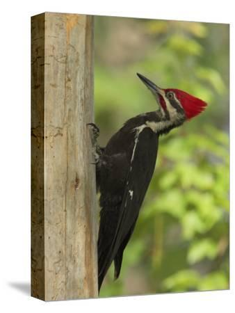 Pileatd Woodpecker Scales a Pine Tree Trunk-George Grall-Stretched Canvas Print