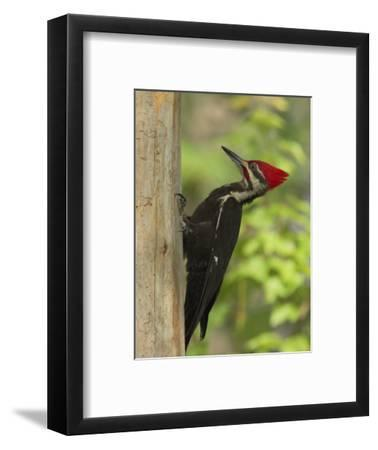 Pileatd Woodpecker Scales a Pine Tree Trunk-George Grall-Framed Photographic Print