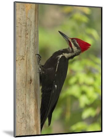 Pileatd Woodpecker Scales a Pine Tree Trunk-George Grall-Mounted Photographic Print