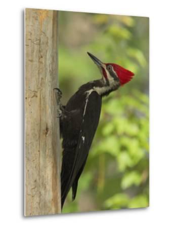 Pileatd Woodpecker Scales a Pine Tree Trunk-George Grall-Metal Print