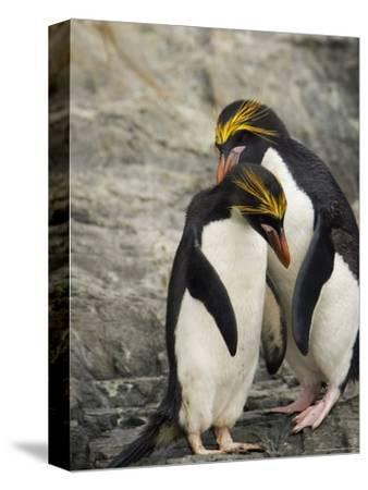 Macaroni Penguins Preening During Courtship-Ralph Lee Hopkins-Stretched Canvas Print