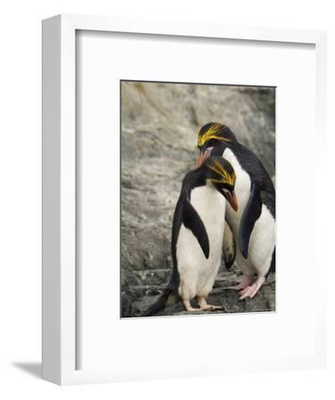 Macaroni Penguins Preening During Courtship-Ralph Lee Hopkins-Framed Photographic Print