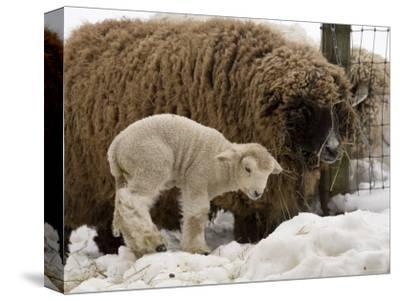 Lamb and Sheep in the Snow, Massachusetts-Tim Laman-Stretched Canvas Print