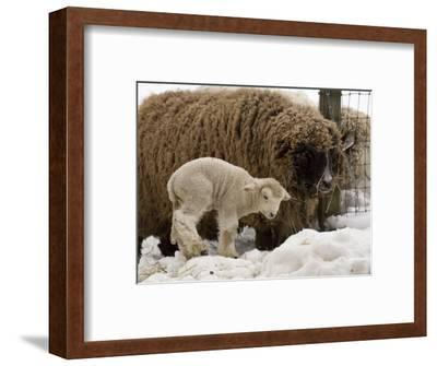 Lamb and Sheep in the Snow, Massachusetts-Tim Laman-Framed Photographic Print