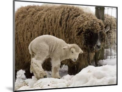 Lamb and Sheep in the Snow, Massachusetts-Tim Laman-Mounted Photographic Print