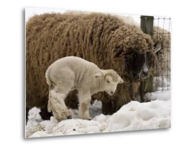 Lamb and Sheep in the Snow, Massachusetts-Tim Laman-Metal Print