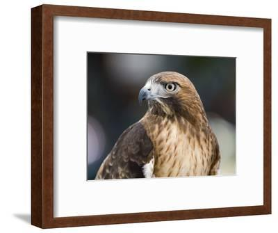 Recovering Captive Red-Tailed Hawk, California-Rich Reid-Framed Photographic Print
