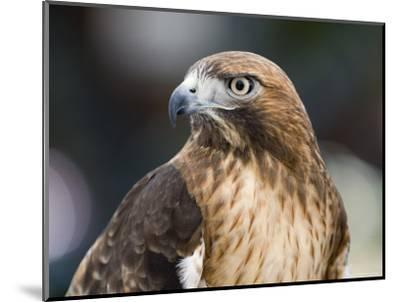 Recovering Captive Red-Tailed Hawk, California-Rich Reid-Mounted Photographic Print