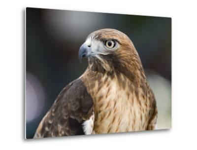 Recovering Captive Red-Tailed Hawk, California-Rich Reid-Metal Print