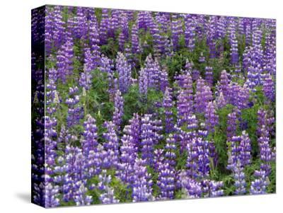 Summer Wilflowers in the Far North, Nootka Lupine, Alaska-Ralph Lee Hopkins-Stretched Canvas Print