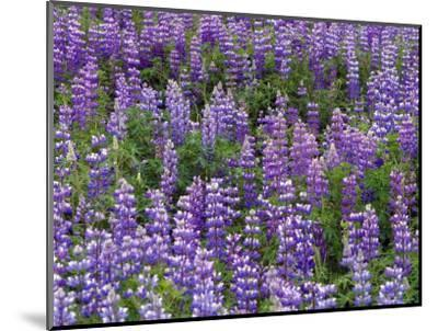 Summer Wilflowers in the Far North, Nootka Lupine, Alaska-Ralph Lee Hopkins-Mounted Photographic Print